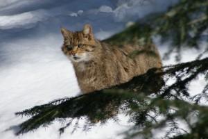 europäische Wildkatze im Vogtland