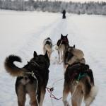 Hundeschlitten Rennen in Schöneck