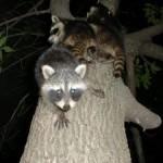 Waschbären auf dem Baum